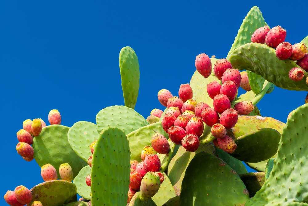 Beneficios para la salud de Nopal (cactus de pera espinosa ...